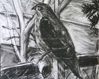 Cooper's Hawk with Prey Charcoal Drawing