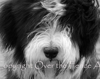 Bearded Collie Card Photo  Puppy Has Wind Blown Fur Animal Photography Black and White Greeting Card Print