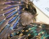 Lot of 4 European Starling Wings, Feathers, Craft Supply