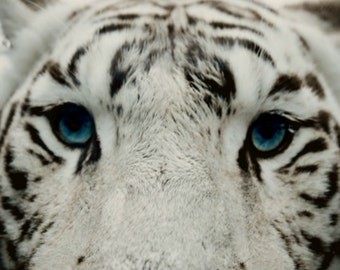 White Siberian Tiger Photography Amur,Russia,black and white,blue eyes,Gifts under 25,macro,zoo animals,stripes,dramatic closeup,gorgeous