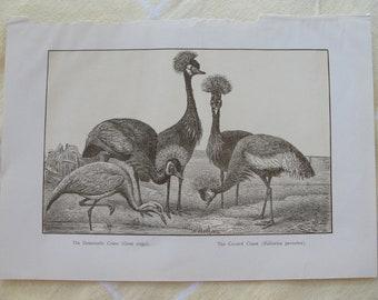 Crane - Original - vintage - Sepia - Encyclopedia page