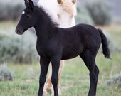 The Black Foal and the Cremello - Fine Art Wild Horse Photograph - Wild Horse