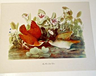 Audubon Bird Print For Framing Key West Quail Dove Print 1940's Birds of America
