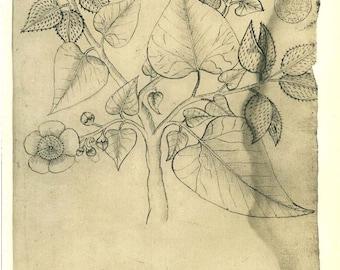 Botanical Sketch Drawing Plant Achiote Bixa orellana  Maranhao Brazil