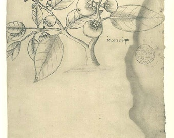 Vintage Botanical Sketch Drawing Flowering Plant Maranhao Poster