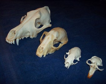 4 Real animal bone  Skull parts taxidermy craft supply coyote raccoon mink muskrat