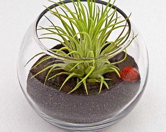 ZODIAC ARIES terrarium- birthday gift, sand terrarium, home decor, birthday, horoscope, zodiac, terrarium, air plant, tillandsia, feng shui