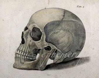 SKULL skeleton human head anatomy print