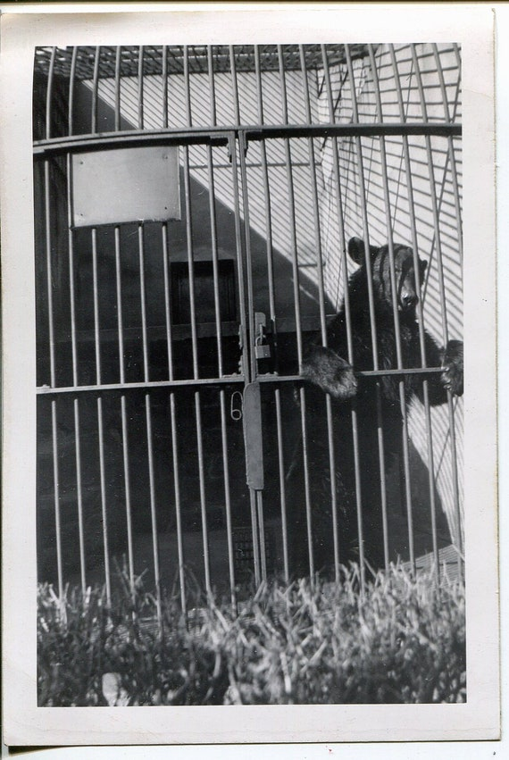 Vintage Photo, Bear in the Zoo, excellent, black & white photograph