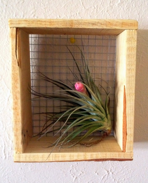 Items similar to air plant wall art on etsy for Air plant wall art