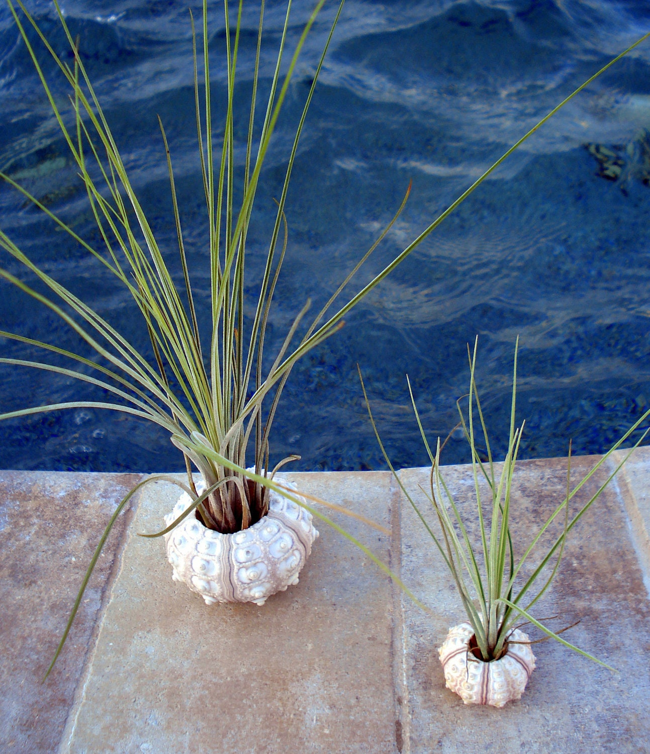 2 sea urchin air plant planters small and medium from for Air plant planters