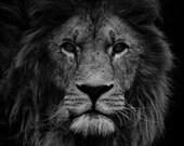 Lion Photograph Print - Lion Head Black and White - Office Decor - Big Cat - Feline - Royal - Lion Mane - Fine Art Photography - Men Gift