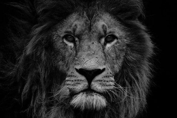 lion photo print t te de lion noir et blanc bureau decor. Black Bedroom Furniture Sets. Home Design Ideas