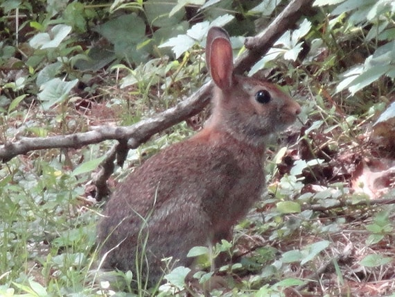Bunny Rabbit Woodland Animal Rustic Fine Art Print