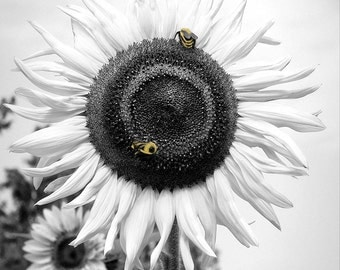 Sunflower Bumble Bee Black White Yellow Painted Photography Print 16x20 11x14 8x10 5x7