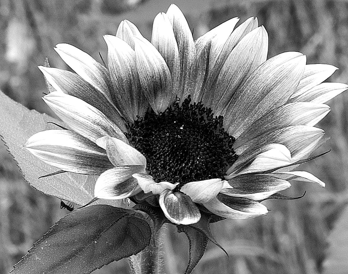 Sunflowers Tumblr Black And White