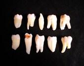 10 Real Human Teeth Taxidermy Bone Teeth Molar, Incisor, Premolar, and Fang Tooth Bones Lot 46