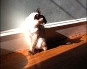 Siamese cat Pearl in the Sunlight, photo art print 8x10