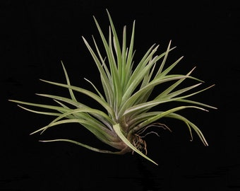 Tillandsia velutina-Medium Plants