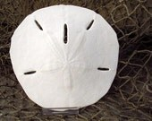 Extra Large Florida Sand Dollar (4.5 in)