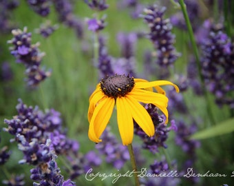 Flower Photography Yellow Daisy and Lavender Field--Fine Art Nature Photography 8.5x11