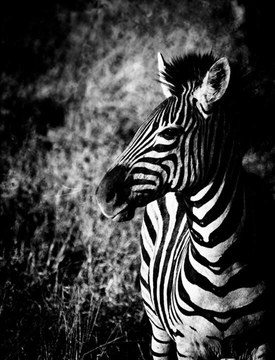 Wildlife Art Zebra Wall Art Black and White Photo