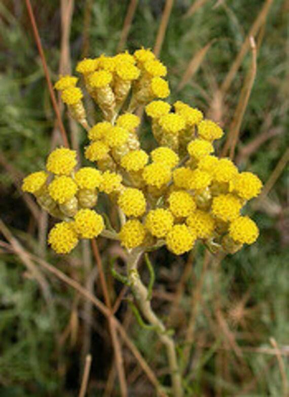 100% Pure Helichrysum Italicum Essential Oil, Organic (1 ounce)