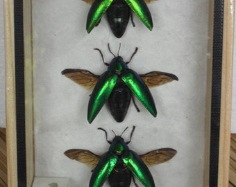 3 REAL Jewel Beetle Sternocera Aeguisignata Insect taxidermy in Box /inf17
