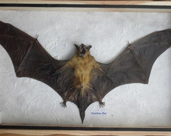 REAL HAIRLESS BAT Insect Taxidermy in wooden box