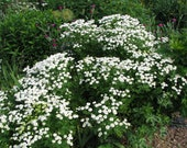 Natural Feverfew Seed - Perennial