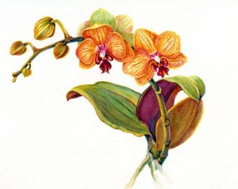 Orchid, yellow, 10 for 10.00