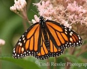 Monarch Butterfly, 5x7 Fine Art Photography, Butterflies - CindiRessler