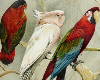 1897 Antique fine lithograph of different species of PARROT, LORY, COCKATOO, Parakeet, Budgerigar. 119 years old gorgeous print.