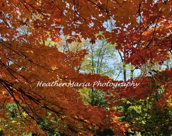 Fall Colors, Trees Join Hands, Fine Art Photography 8x10