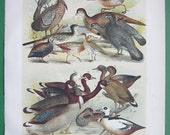 BIRDS Jay Cuckoo Partridge Crake Goose Duck Sandpiper Rail - 1890s COLOR Litho Vintage Antique Print by Theodore Jasper