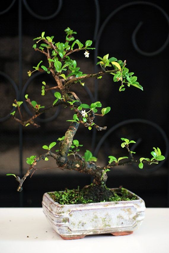 Live Fukien Tea Tree Bonsai Free Shipping Nice Gift