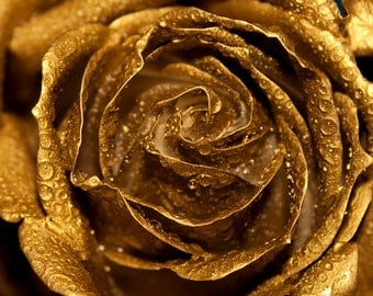 Golden Rose photo Digital download Fine Art Photography rose petals water drops golden wall art flower decor