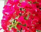Vibrant Hot Pink Desert Southwest Flowers Photograph (8x10- not matted)