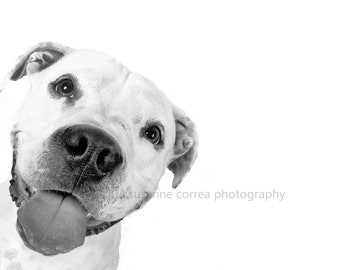Amerikan Staffordshire Terrier,Pitbull, fine art photography, 8x10, home decor,