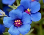 Unique Blue Pimperel, Attracts Butterflies, Easy to Grow, 25 Seeds