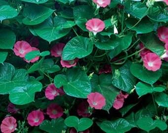 Heirloom Crimson Rambler Morning Glory, Old Fashioned Flower, 10 Seeds