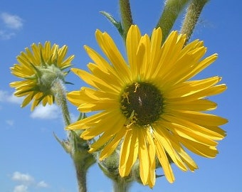 Compass Plant, Tall Daisy Like Flowers, Prolific, Wildflower, 5 Seeds
