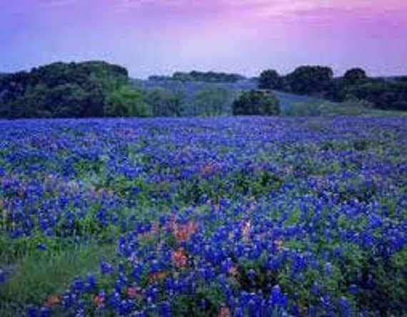 Beautiful Texas Bluebonnet Flower Seeds, Wildflower, 25 Seeds