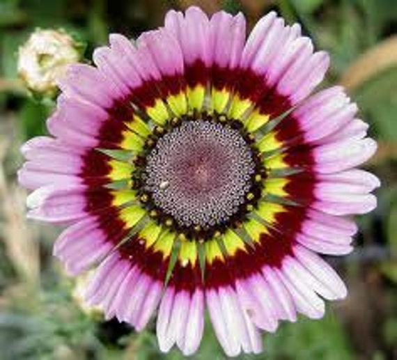 BULK 250 Seeds, Painted Daisy Mix, Tricolor, Flower Seeds