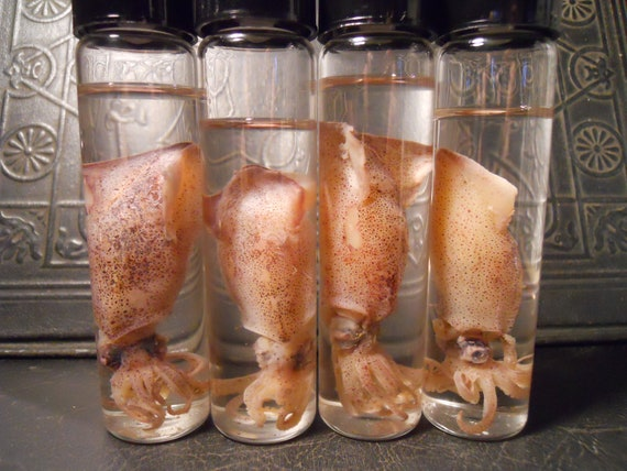 Wet Specimen Little Pink Baby Squid in a Jar  ONLY A IS LEFT