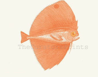 Antique sealife Illustration, Fish Print , Pteraclis velifera  Spotted fanfish