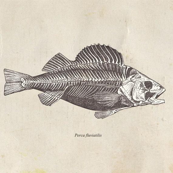 Fish Drawing Print European Perch Vintage Illustration Perca fluviatilis