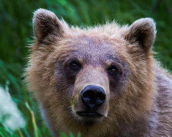 """Alaska Photography, Grizzly Bear Photo Print, 8x10 (and larger) Wildlife Photograph """"Scratch My Ears"""""""