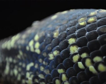 Snake Scales Photo, Macro photograph, Black and yellow, fine photography prints, Scales