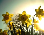 Morning Daffodils Photo Card